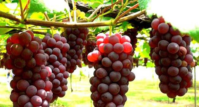 Manfaat Anggur Bagi Tubuh Manusia