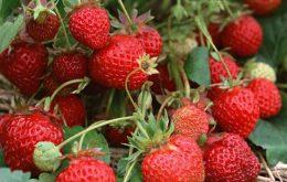 manfaat-buah-stroberi