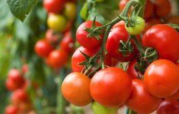 manfaat-buah-tomat