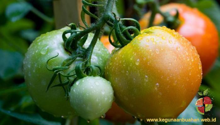 Atropin dan Solanin Terdapat Pada Tomat