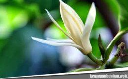 Kegunaan Bunga Cempaka