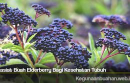 Khasiat Buah Elderberry Bagi Kesehatan Tubuh